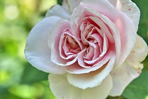 Doppelte Rose