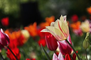 Weisse Tulpe