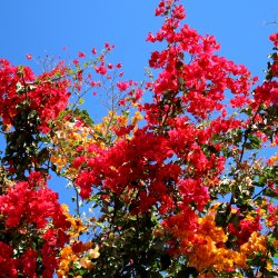 Gelb-Rote-Bougainville