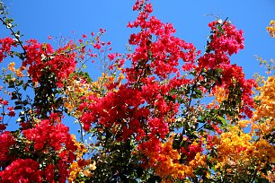 Gelb Rote Bougainville