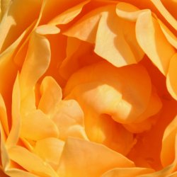 Orange-Roseblaetter