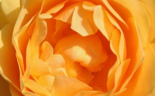 Orange Roseblaetter Wandbild